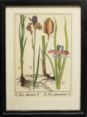 Andrzej Nowacki, Rycina botaniczna: IRIS SIBIRICA, IRIS GRAMINEA