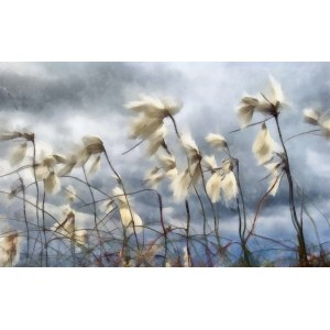 Andrzej Andrychowski, Cotton_grass_blowing_in_the_wind_Aquarell, 2014