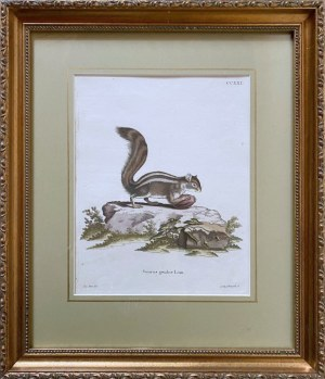 L. NUFSBIEGEL (XIX w.), Wiewiórka (Sciurus getulus linn);