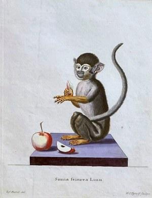H.J.TYROFF (1748-1798), Małpa