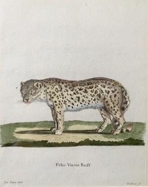 KELLNER (XIX w.), Pantera śnieżna (Felis Uncia Buff )