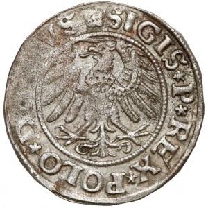 Zygmunt I Stary, Szeląg Elbląg 1531